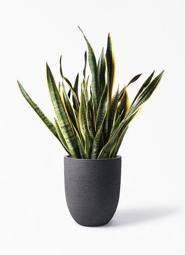 観葉植物 サンスベリア 10号 トラノオ ビアスアルトエッグ ブラック 付き