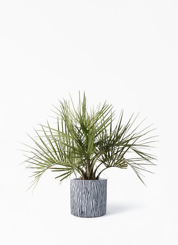 観葉植物 ココスヤシ (ヤタイヤシ) 10号 コーテス シリンダー チゼル 付き