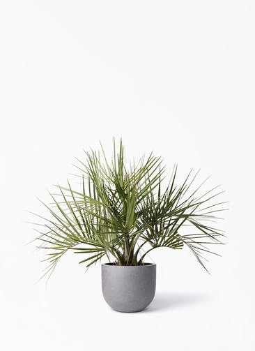 観葉植物 ココスヤシ (ヤタイヤシ) 10号 コンカー ラウンド 付き