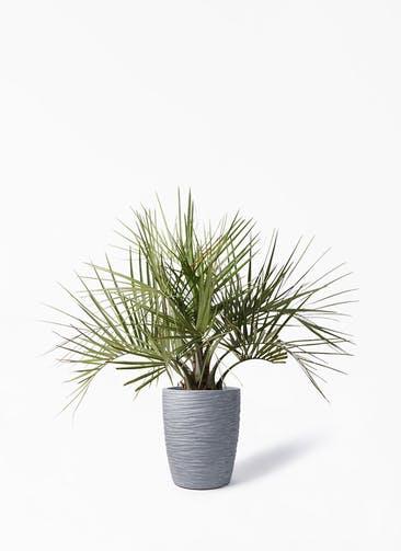 観葉植物 ココスヤシ (ヤタイヤシ) 10号 サン ミドル リッジ 灰 付き