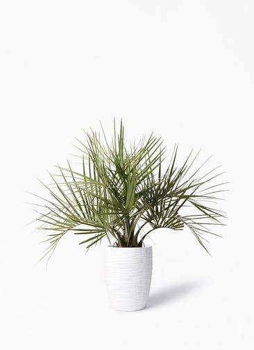 観葉植物 ココスヤシ (ヤタイヤシ) 10号 サン ミドル リッジ 白 付き