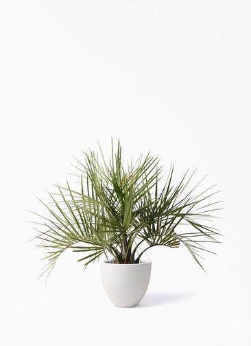 観葉植物 ココスヤシ (ヤタイヤシ) 10号 スタウト アッシュラウンド  付き