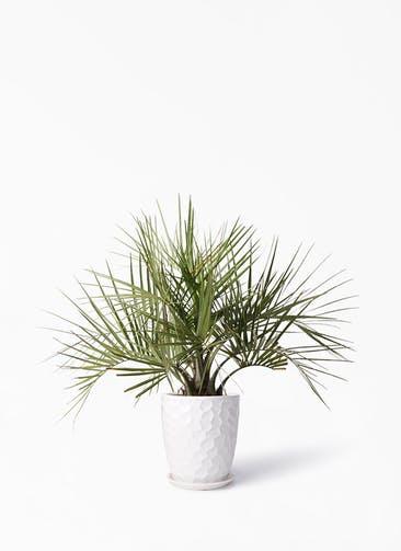観葉植物 ココスヤシ (ヤタイヤシ) 10号 サンタクルストール 白 付き