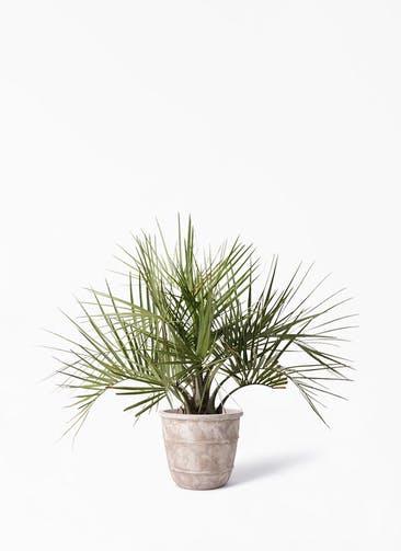 観葉植物 ココスヤシ (ヤタイヤシ) 10号 テラアストラ シリウス 付き