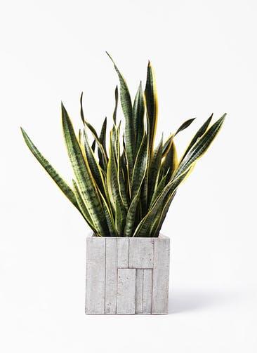 観葉植物 サンスベリア 10号 トラノオ パターン キューブ 付き