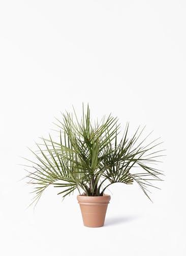 観葉植物 ココスヤシ (ヤタイヤシ) 10号 トスカーナ リムポット 付き