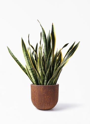 観葉植物 サンスベリア 10号 トラノオ バル ユーポット ラスティ  付き