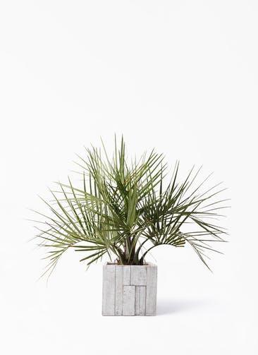 観葉植物 ココスヤシ (ヤタイヤシ) 10号 パターン キューブ 付き