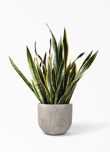 観葉植物 サンスベリア 10号 トラノオ バル ユーポット アンティークセメント 付き