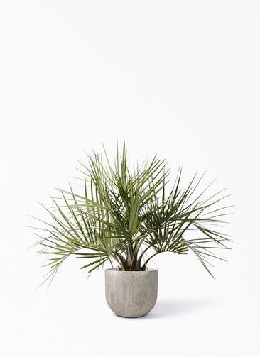 観葉植物 ココスヤシ (ヤタイヤシ) 10号 バル ユーポット アンティークセメント 付き
