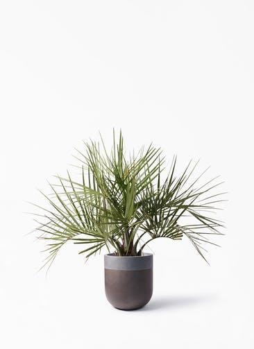 観葉植物 ココスヤシ (ヤタイヤシ) 10号 バルゴ ツートーン マットブラウン 付き