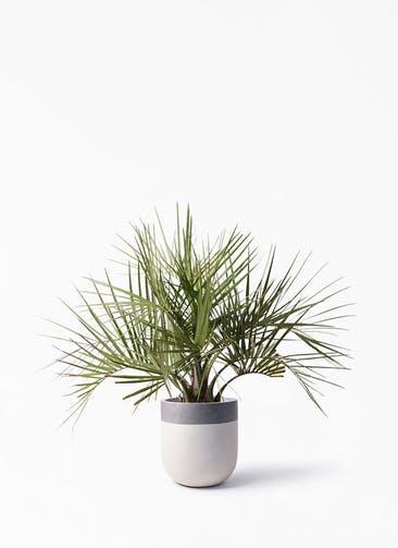観葉植物 ココスヤシ (ヤタイヤシ) 10号 バルゴ ツートーン  サンディホワイト 付き