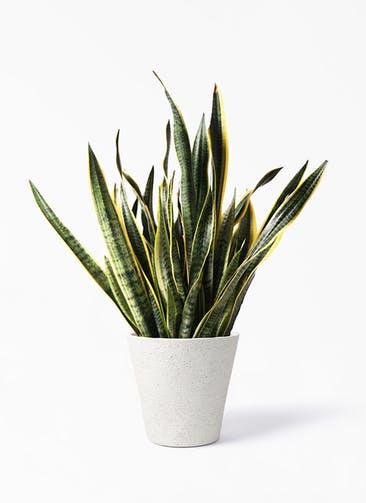 観葉植物 サンスベリア 10号 トラノオ ビアスソリッド アイボリー 付き