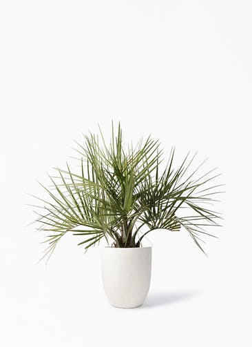 観葉植物 ココスヤシ (ヤタイヤシ) 10号 フォリオアルトエッグ クリーム 付き
