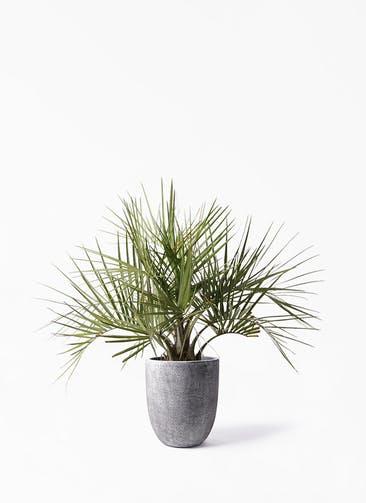 観葉植物 ココスヤシ (ヤタイヤシ) 10号 フォリオアルトエッグ ブラックウォッシュ 付き