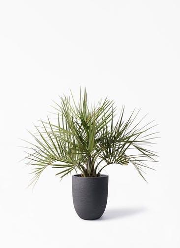 観葉植物 ココスヤシ (ヤタイヤシ) 10号 ビアスアルトエッグ ブラック 付き