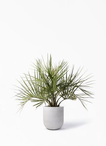 観葉植物 ココスヤシ (ヤタイヤシ) 10号 バルゴ モノ ライトグレー 付き