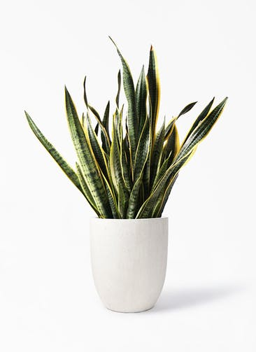 観葉植物 サンスベリア 10号 トラノオ フォリオアルトエッグ クリーム 付き