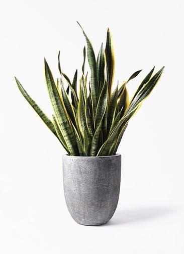 観葉植物 サンスベリア 10号 トラノオ フォリオアルトエッグ ブラックウォッシュ 付き