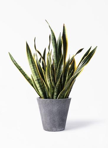 観葉植物 サンスベリア 10号 トラノオ フォリオソリッド ブラックウォッシュ 付き