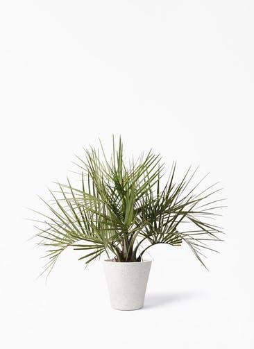 観葉植物 ココスヤシ (ヤタイヤシ) 10号 ビアスソリッド アイボリー 付き