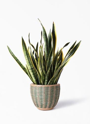 観葉植物 サンスベリア 10号 トラノオ マラッカ ダイドグリーン 付き