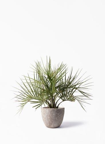 観葉植物 ココスヤシ (ヤタイヤシ) 10号 アビスソニア ラウンド 付き
