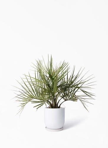 観葉植物 ココスヤシ (ヤタイヤシ) 10号 アファール 白 付き