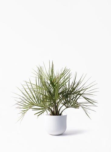 観葉植物 ココスヤシ (ヤタイヤシ) 10号 アユラニ ライレイ 付き