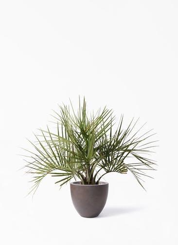 観葉植物 ココスヤシ (ヤタイヤシ) 10号 エルム ラウンド ブラウン 付き