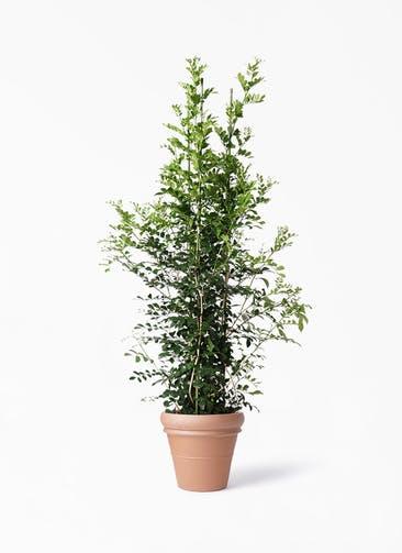 観葉植物 シルクジャスミン(げっきつ) 10号 トスカーナ リムポット 付き