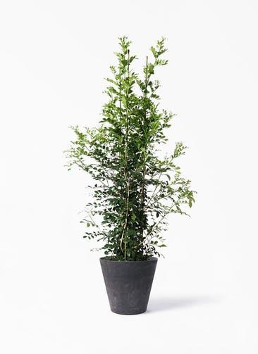 観葉植物 シルクジャスミン(げっきつ) 10号 アートストーン ラウンド ブラック 付き
