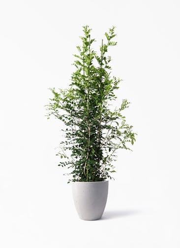 観葉植物 シルクジャスミン(げっきつ) 10号 コーテス ラウンド ベージュ 付き