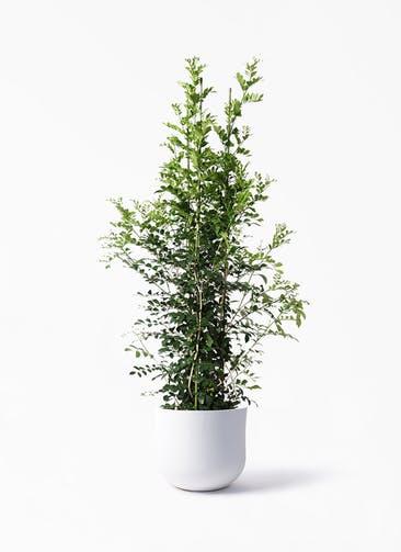 観葉植物 シルクジャスミン(げっきつ) 10号 アユラニ ライレイ 付き