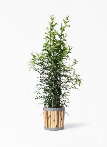 観葉植物 シルクジャスミン(げっきつ) 10号 ウッドプランター シリンダー  付き