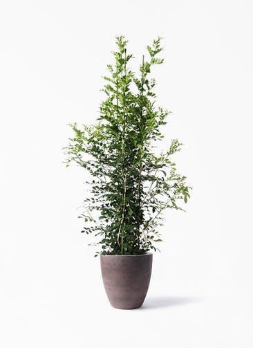 観葉植物 シルクジャスミン(げっきつ) 10号 コーテス ラウンド ブラウン 付き