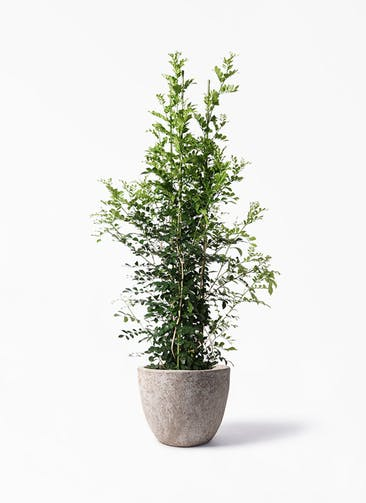 観葉植物 シルクジャスミン(げっきつ) 10号 アビスソニア ラウンド 付き