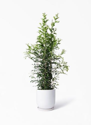 観葉植物 シルクジャスミン(げっきつ) 10号 アファール 白 付き