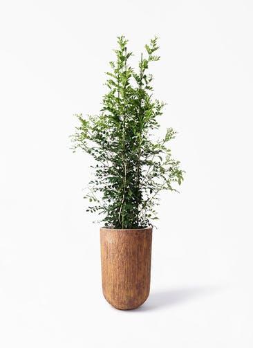 観葉植物 シルクジャスミン(げっきつ) 10号 バル トール ラスティ 付き