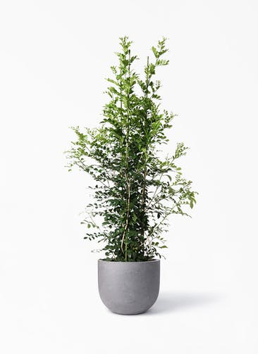 観葉植物 シルクジャスミン(げっきつ) 10号 コンカー ラウンド 付き