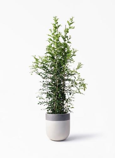 観葉植物 シルクジャスミン(げっきつ) 10号 バルゴ ツートーン  サンディホワイト 付き
