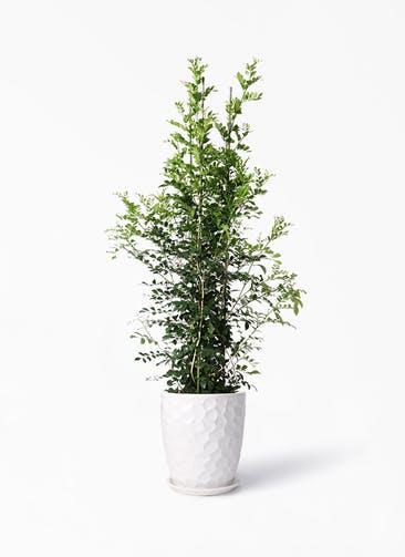 観葉植物 シルクジャスミン(げっきつ) 10号 サンタクルストール 白 付き