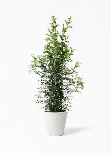 観葉植物 シルクジャスミン(げっきつ) 10号 ビアスソリッド アイボリー 付き