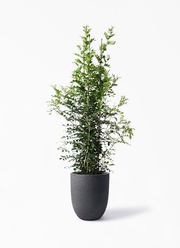 観葉植物 シルクジャスミン(げっきつ) 10号 ビアスアルトエッグ ブラック 付き
