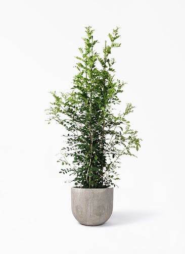 観葉植物 シルクジャスミン(げっきつ) 10号 バル ユーポット アンティークセメント 付き
