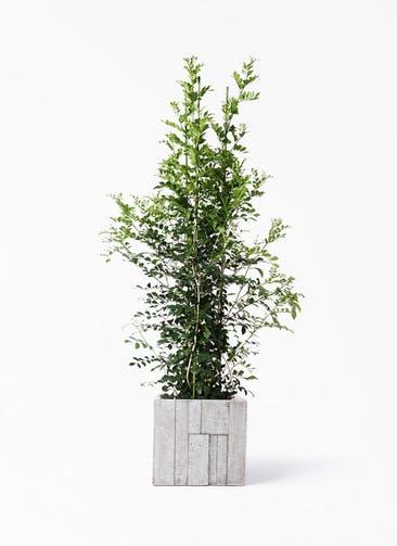 観葉植物 シルクジャスミン(げっきつ) 10号 パターン キューブ 付き