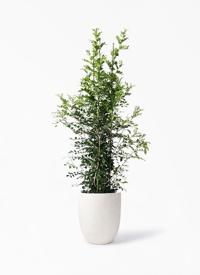 観葉植物 シルクジャスミン(げっきつ) 10号 フォリオアルトエッグ クリーム 付き