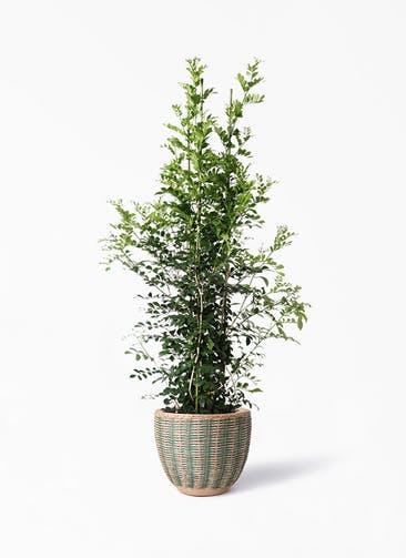 観葉植物 シルクジャスミン(げっきつ) 10号 マラッカ ダイドグリーン 付き