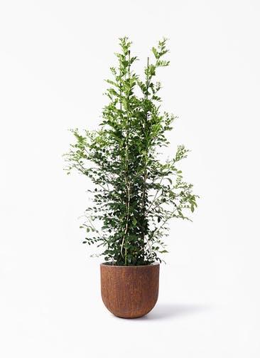 観葉植物 シルクジャスミン(げっきつ) 10号 バル ユーポット ラスティ  付き