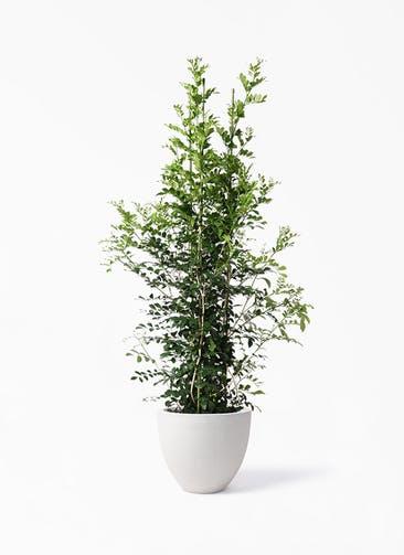 観葉植物 シルクジャスミン(げっきつ) 10号 スタウト アッシュラウンド  付き